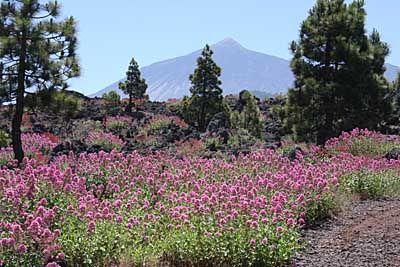 Juni: Blütenmeer und im Hintergrund der Teide - Farbenpracht auf Teneriffa