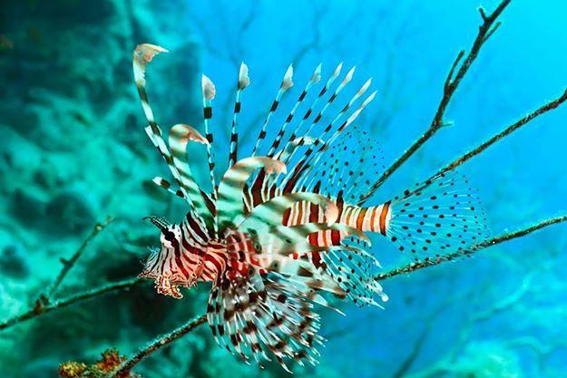 Las aletas coloridas del Pez león resaltan dentro del mar de Capurganá para disfrutar de una única experiencia de buceo.