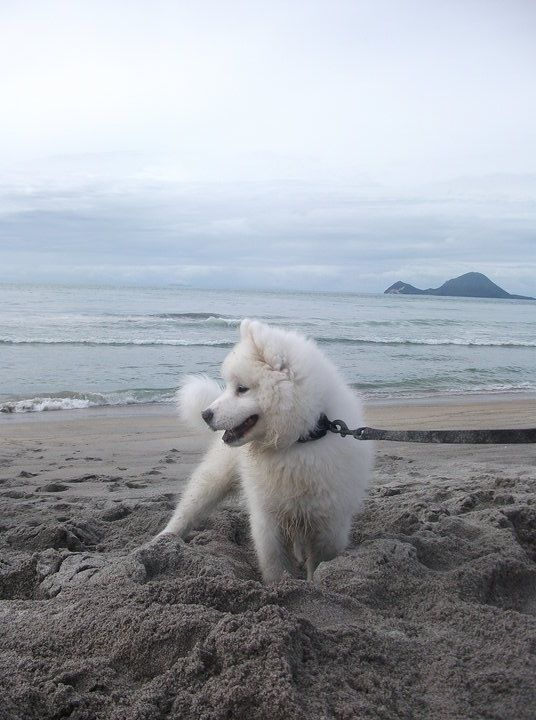 Let's go this way, Samoyed puppy on the beach
