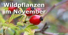 Im November findest du noch einige wilde Früchte und ausgewählte Kräuter. Jetzt fängt abe die Wurzelsaison an. Finde heraus, welche du im November erntest!
