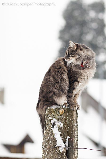 BALTHUS :: #norwegian #forest #cat