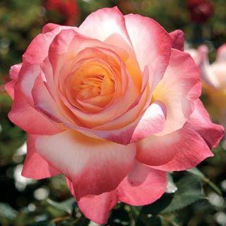 'Gemini' Hybrid Tea - American Rose Society Members' Choice Award Winner.