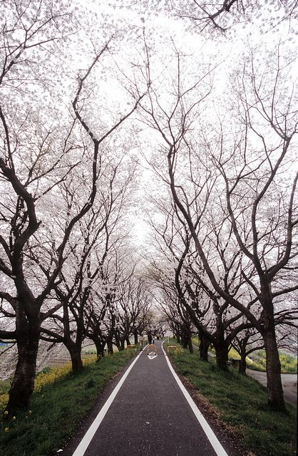 Tunnel of Cherry Blossom Trees