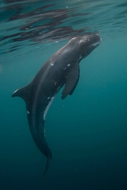 The Pygmy Killer Whale (Feresa attenuata) is a cetacean of the Delphinidae family. Like the False Killer Whale, it derives its common name from sharing some physical characteristics with the real Killer Whale.