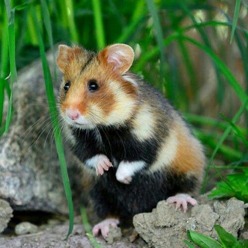 Wild hamster!!!!!!!!!!!