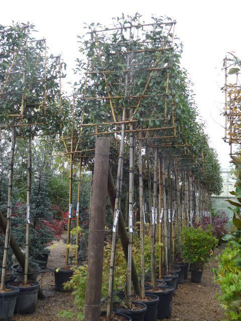 Photinia Red Robin Pleached Trees. Photinia UK. Buy online