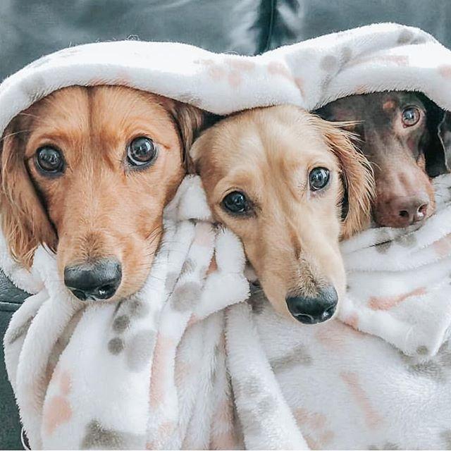 Pin By William Moffitt On Daschunds Weenie Dogs Dogs Dachshund