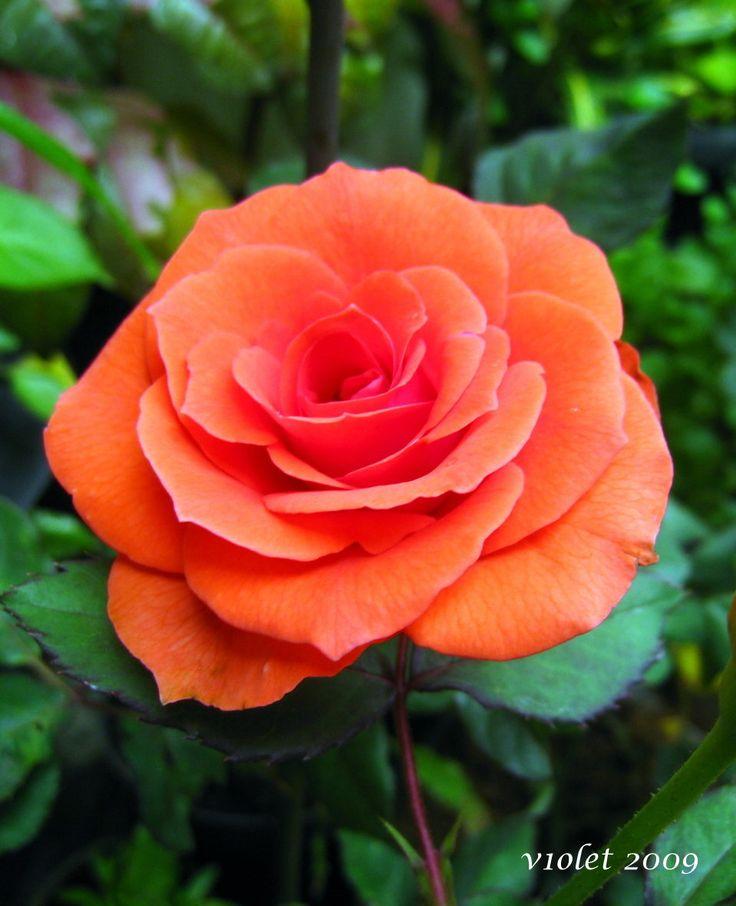 orange rose roses pinterest beautiful nice and beautiful sunset. Black Bedroom Furniture Sets. Home Design Ideas