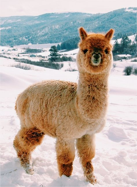 Alpacas is the most CUtest Thing on earth! omg.. I'M gonna DIE!