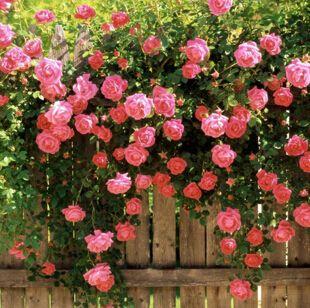 Семена цветов семена розы цветок розы растений балкон бонсай растения семена цветов-100 шт. семена