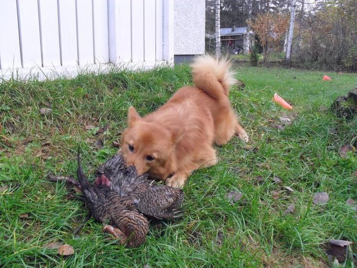 Koirani Torsti - Torsti, MUSCH-barffauskokemukset