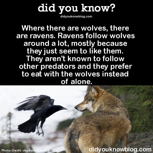 Where there are wolves, there are ravens. Ravens follow wolves around a lot, mostly because they just seem to like them. They aren't known to follow other predators and they prefer to eat with the wolves instead of alone.