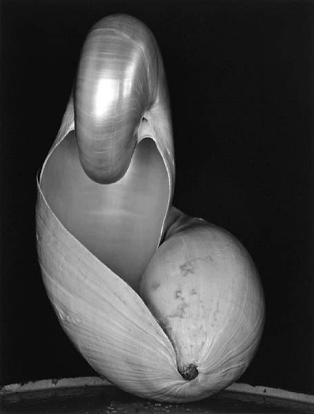 Two Shells, a pencil drawing by Edward Weston
