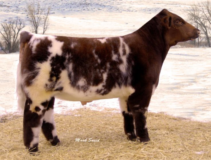 Show Pitchers of Cows | Shorthorns Sires