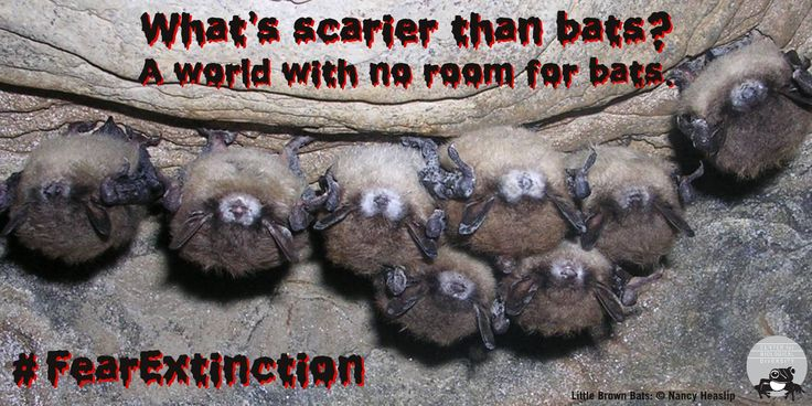 A single little brown bat can eat up to 1,000 mosquitoes in a single hour.
