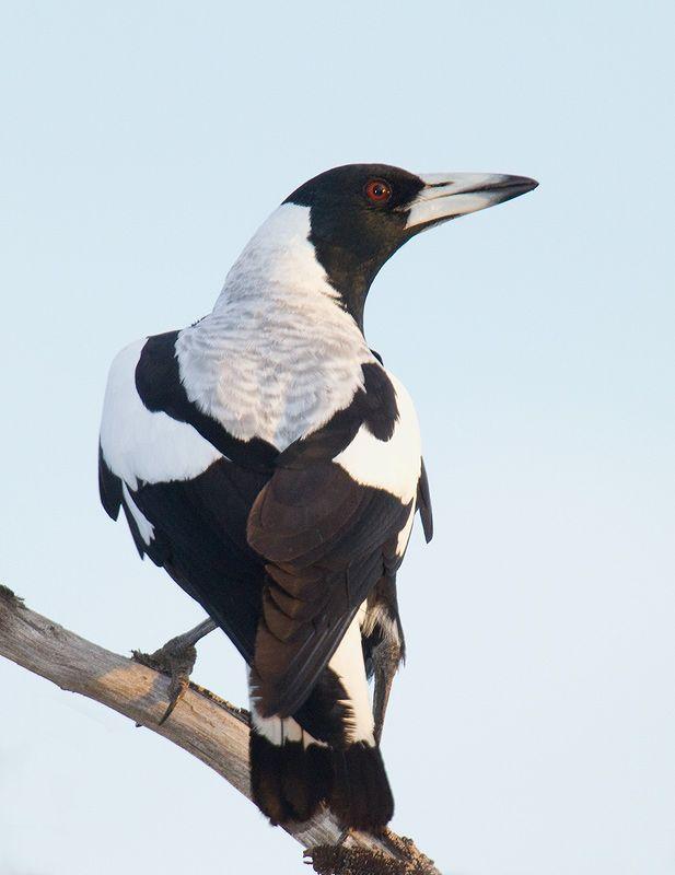 White-backed magpie a.k.a. Australian Magpie   (Gymnorhina tibicen)