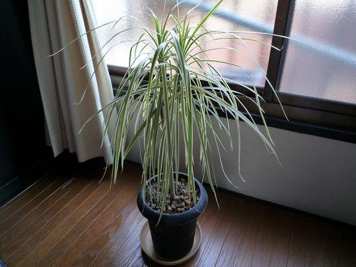 Ложная пальма или Драцена. В последнее время драцену полюбили многие ценители комнатных растений. Это растение насчитывает огромное количество видовых форм, которые отличаются друг от друга формой и окраской листьев и цветов. Драцена, латинское - dracaena, народное — драконово дерево.