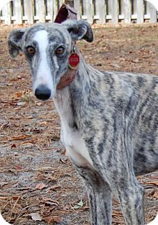 Cherry Hill, NJ - Greyhound. Meet Pepsi, a dog for adoption. http://www.adoptapet.com/pet/17001849-cherry-hill-new-jersey-greyhound