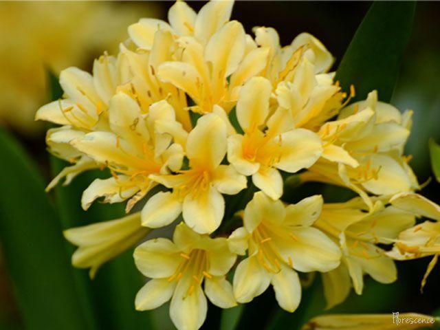 Clivia (Bush Lily), (c) Florescence