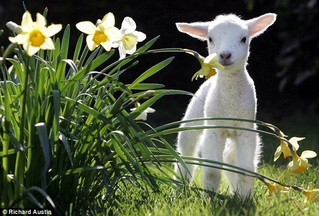 Baby Lamb In Spring Pictures, Photos, and Images for ...  |Baby Lambs In Spring