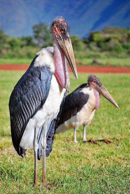 Le marabout est un grand oiseau échassier fort laid, au cou rouge et presque déplumé, au jabot fortement proéminent, à la stature presque v...