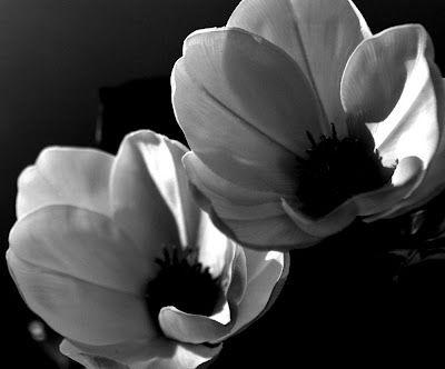 Ansel Adams Magnolias