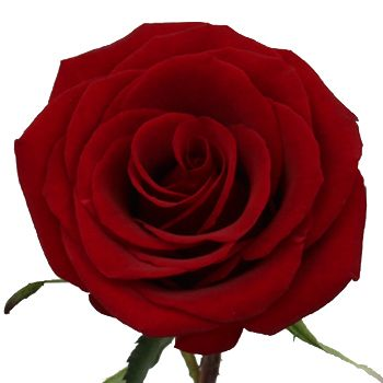 FiftyFlowers.com - Black Magic Rose