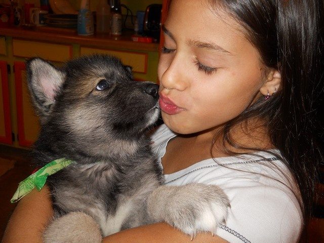 Wolf Hybrid Puppies, I am having a hybrid in my life very soon!!