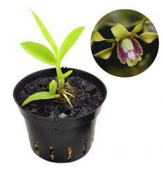 Dendrobium Aff. Busuangense Rp 45,000
