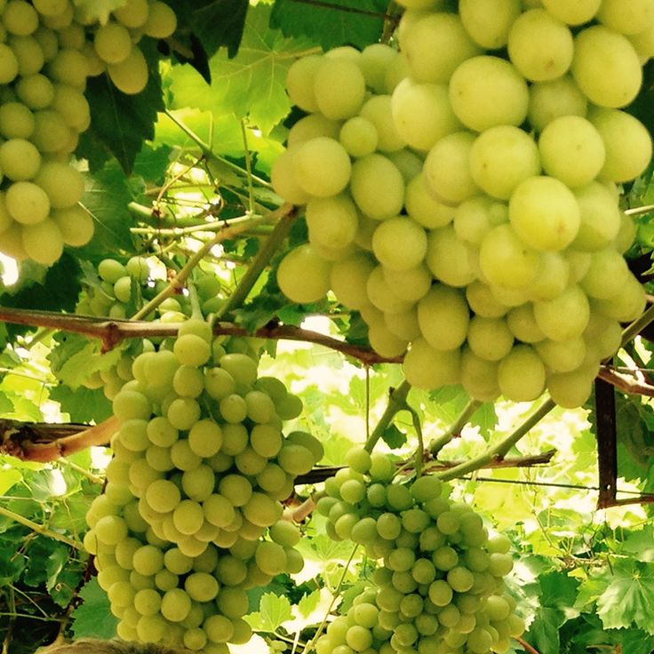 25 best aussiegrapes images on pinterest fruit harvest and aussies - Seedless grape cultivars ...