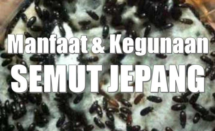 Ternyata Semut Jepang Memiliki Manfaat Besar Untuk Kesehatan