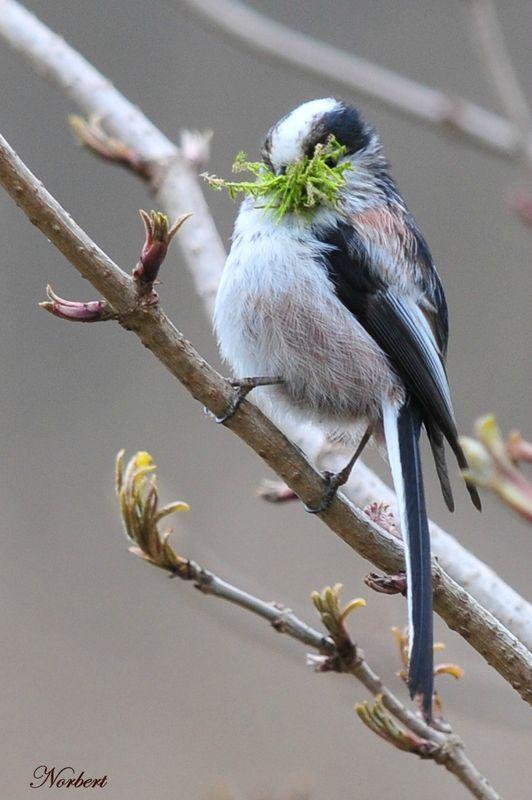 la Mésange à longue queue ( Aegithalos Caudatus ) - le Chien Vert