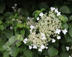 June: Hydrangea anomala subsp.petiolaris  climbing hydrangea Going to get one of these!!