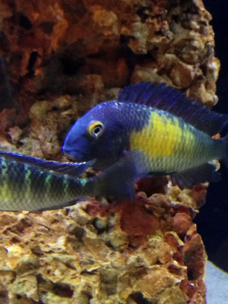 49 best tropheus cichlids images on pinterest african for African cichlid fish