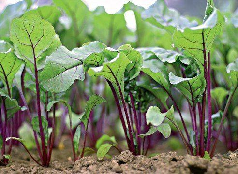 Овощи которые можно вырастить в тени