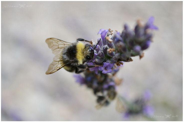 Bubmlebee in my lavender field :)