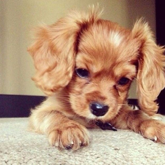 Cocker Spaniel Puppy Love It When They Put Their Ears Up