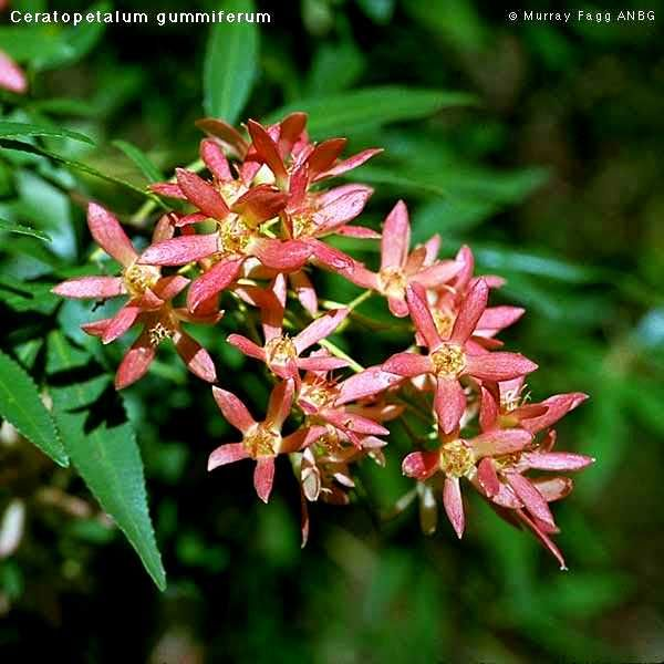 Ceratopetalum gummiferum (NSW Christmas Bush).  Planted Oct '12