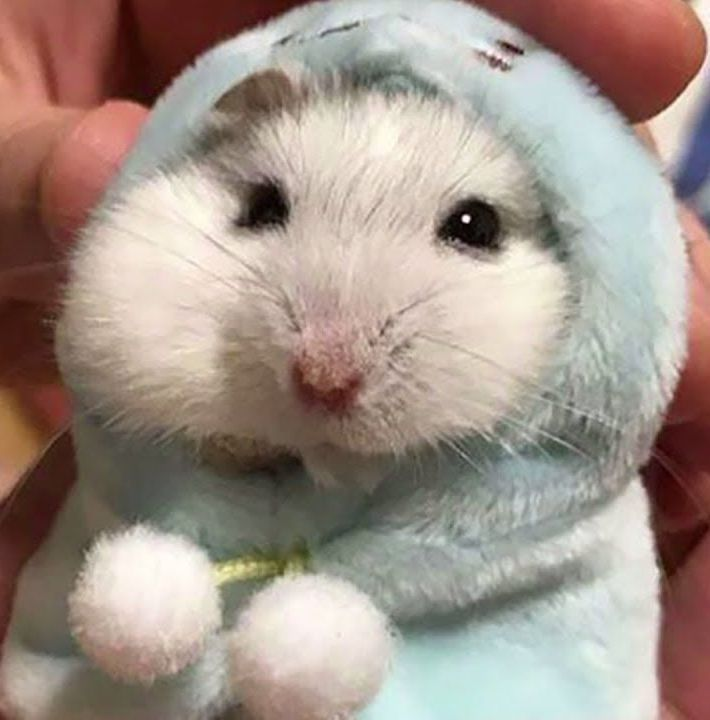 The Life Expectancy Of Hamsters Funny Hamsters Cute Hamsters Hamsters As Pets