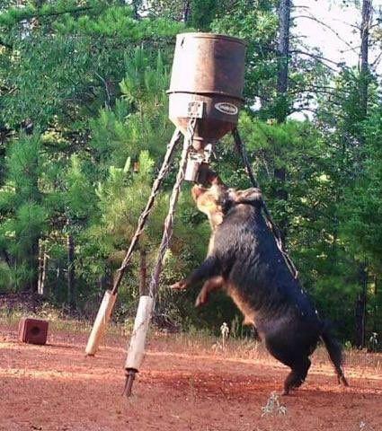 Hog Hungry! #TexasHog #Hoghunters #feeders
