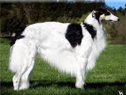 Resultado de imagem para cão russo gigante