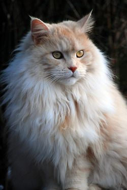 """( Maine Coon) * * HARRISON: """"Me beard grows almosts to me toes,buts down de road me goes."""" [Manufactures own line of catnip cologne."""
