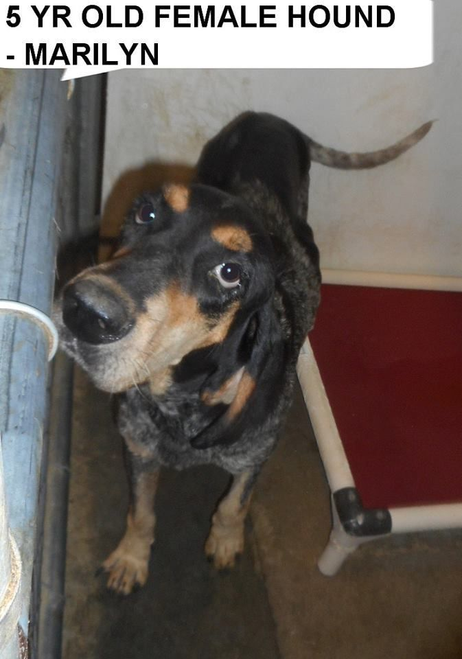 ●9•2•17 SL● ■N. CAROLINA■Marilyn is an adoptable Bluetick Coonhound searching for a forever family near Elizabethown, NC. Use Petfinder to find adoptable pets in your area.