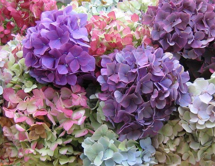 Faire sécher les Fleurs d'Hortensias. A la fin de la floraison fin septembre, coupez les branches d'Hortensia et effeuillez les tiges.  Mettez les fleurs dans un vase avec un fond d'eau que vous laisserez s'évaporer. Évitez d'exposer le bouquet à une lumière intense, le soleil a une action décolorante. Le processus de séchage dure environ deux à trois semaines. Une fois les fleurs séchées, vous pouvez les disposer dans un vase en verre, dans un panier ou un arrosoir décoratif selon votre…