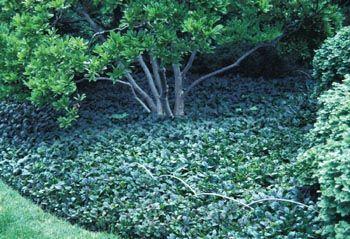 boston ivy planting instructions
