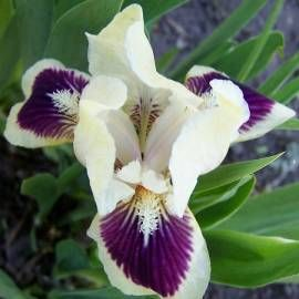 Kosaciec niski 'Black Cherry Delight' Iris x barbata