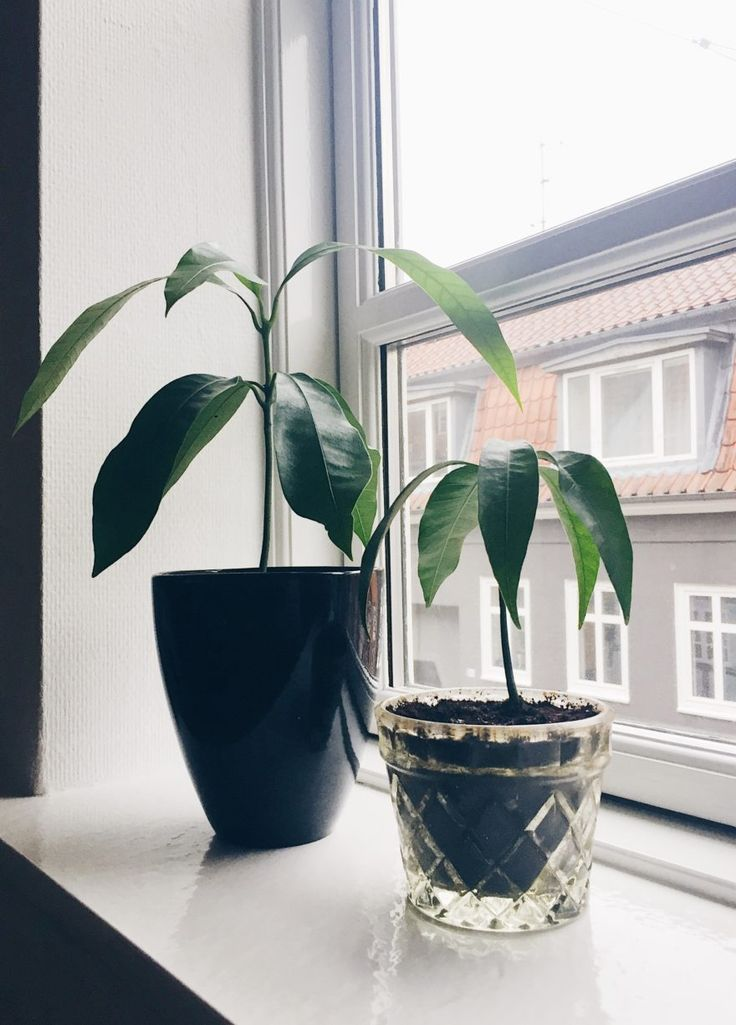 How To Grow a Mango Tree from Seed | mariacecilie.dk