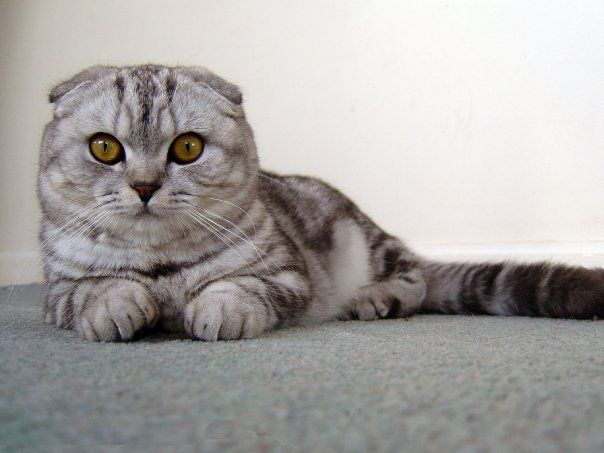 Phoenix, a silver tabby pedigree Scottish Fold cat