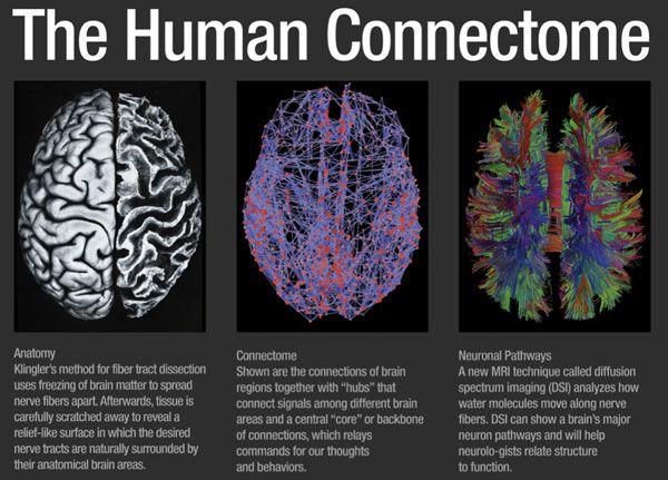 The image on the left shows a dissection of a human brain, performed by Ludwig and Klingler from post mortem tissue. The dissection reveals major anatomical features of the brain, but does not reveal the brain's connections. Shown on the right is a complete map of the major anatomical connections linking distinct regions of the cerebral cortex. The map was generated by Hagmann in 2008 from magnetic resonance imaging data acquired from a living person. In its entirety, the brain consists...