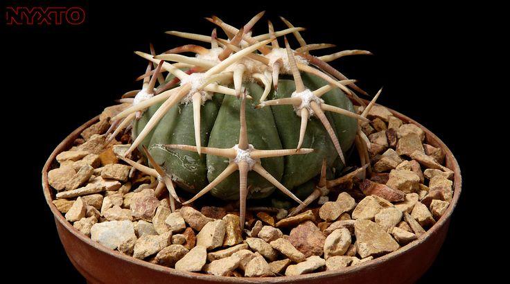 Echinocactus Horizonthalonius | by Nyxtofulakas